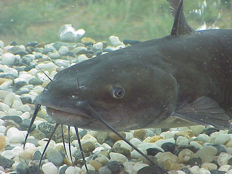Poisson chat ©US Army corps of engineers