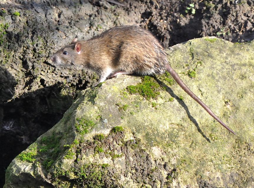 Rat surmulot ©Jean-Luc Hercent