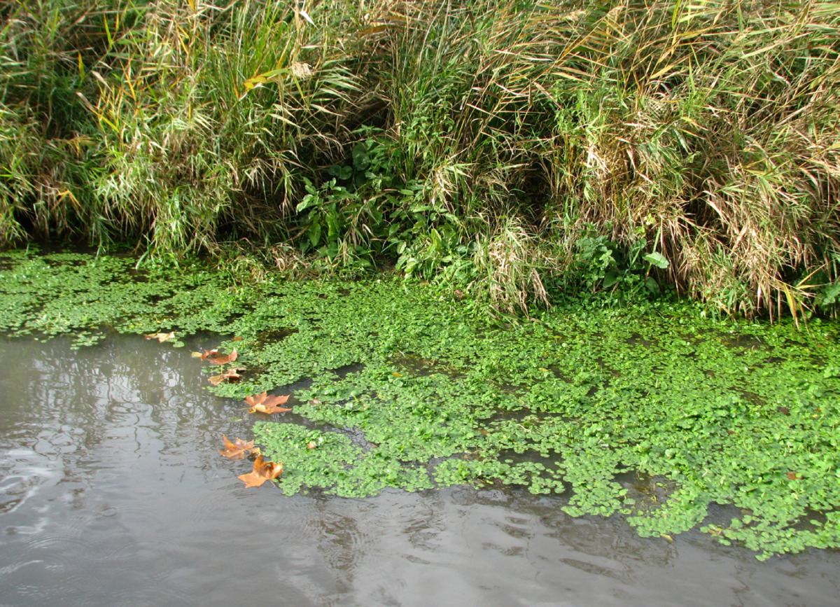 Hydrocotyle à feuilles de Renoncule ©Aymeric Watterlot