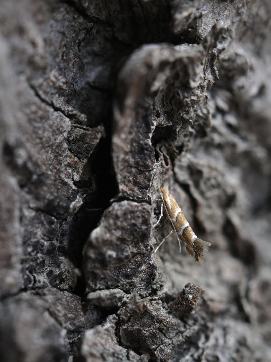 Mineuse du marronnier ©Jean-Luc Hercent
