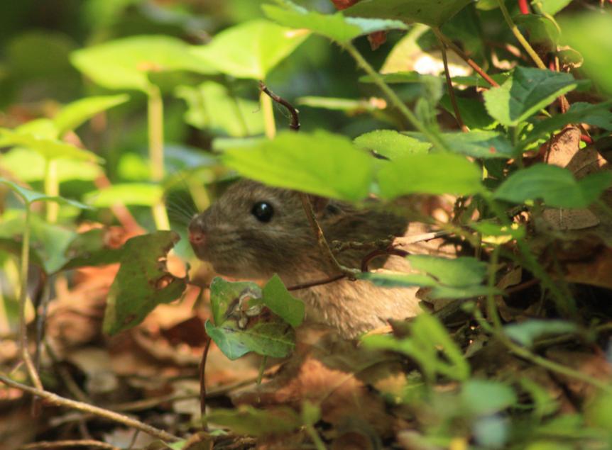 Rat surmulot ©Thomas Hermant