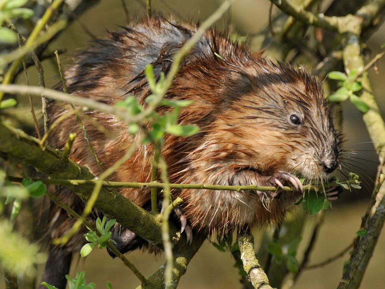 Rat musqué ©Jean-Luc Hercent