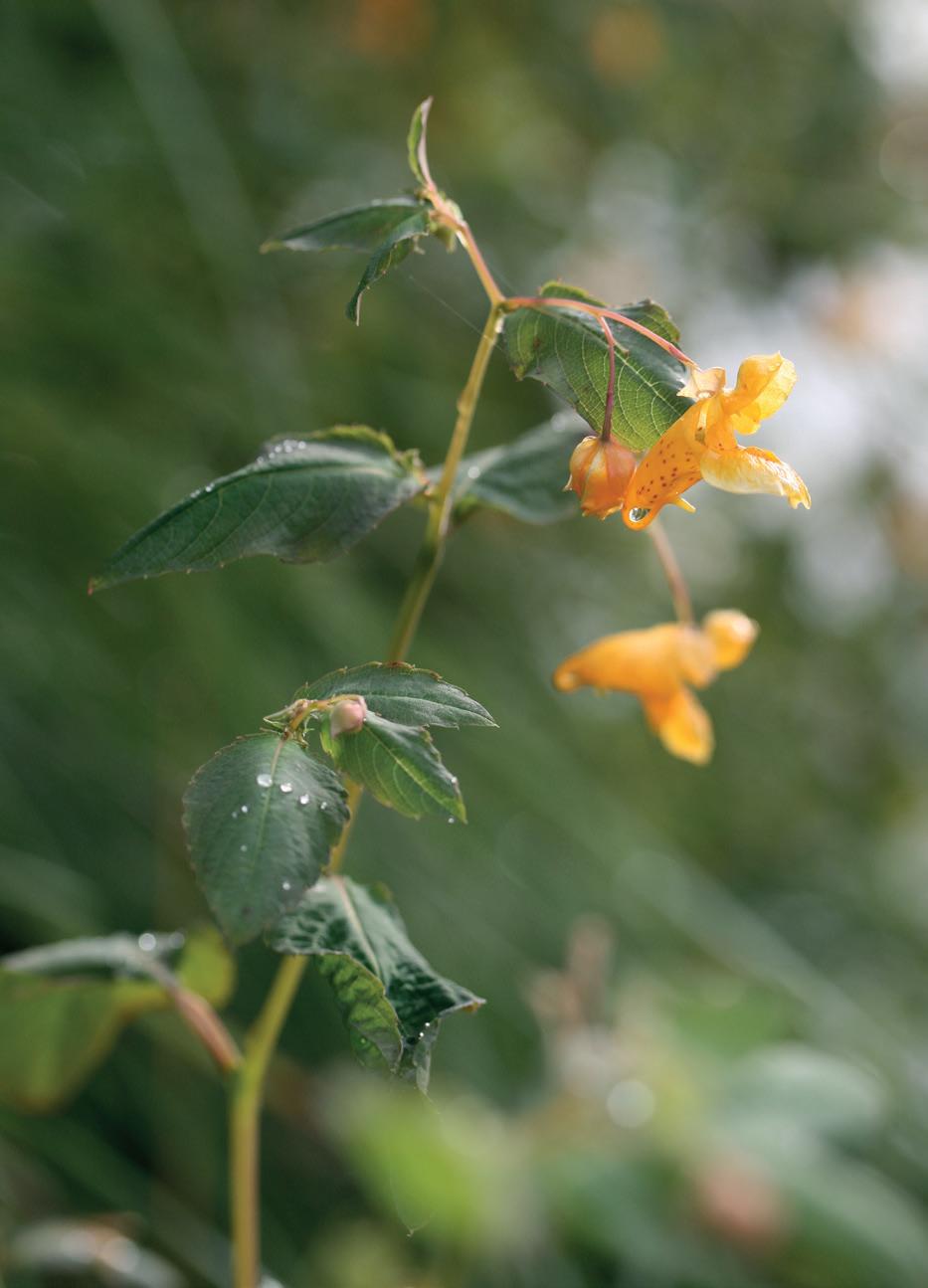 Balsamine du Cap ©Aymeric Watterlot