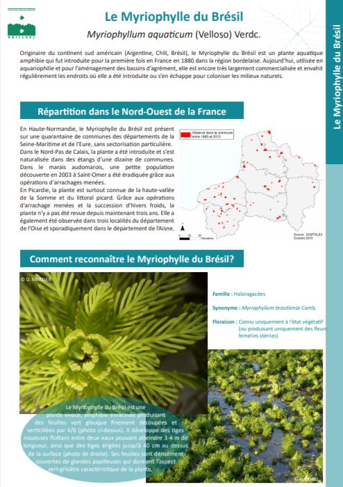 Fiche flore - Myriophylle du Brésil
